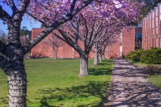 Körsbärsträden är värda ett besök på våren!