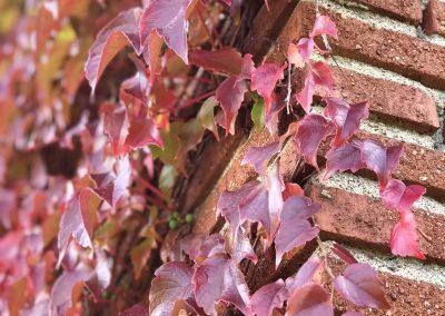 Murgrönan på hösten.